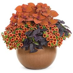 Proven Winners - ColorBlaze® Sedona Sunset® - Coleus - Solenostemon scutellarioides plant details, information and resources. Fall Potted Plants, Ivy Plants, Fall Planters, Patio Plants, Garden Planters, Flowers For Planters, Outdoor Planters, Fall Containers, Succulents In Containers