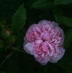 'Jacques Cartier'    (Desprez, 1840)  Damaszener Rose