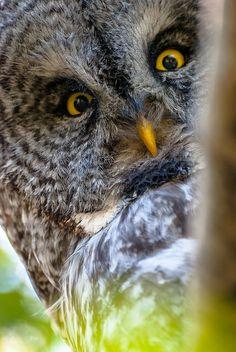 Great Grey Owl close UP