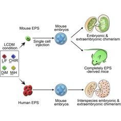 Derivation of Pluripotent Stem Cells with InVivo Embryonic and Extraembryonic Potency