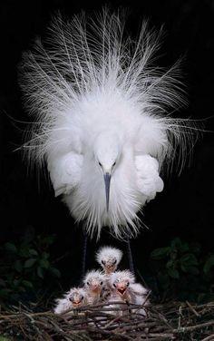 The family of Egrets (Egretta garzetta), Pinglin, New Taipei City, Taiwan. Photo: John&Fish / flickr.com/johnfish/