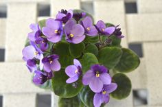 Tiny Tim - African Violet Miniature