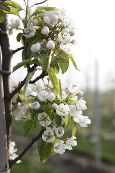 Mooie bloesem in het voorjaar: onze perenbomen staan in bloei! bezoek dit weekend....