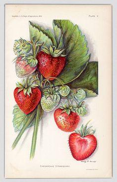 1912, Antique Print, Strawberry, Strawberry Print, Fruit Print, Original Print by AestheticEsthetik on Etsy https://www.etsy.com/listing/181063799/1912-antique-print-strawberry-strawberry