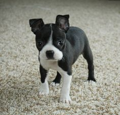 Boston Terrier Puppy Boston Terrier Puppy. Crap, i really need one of these