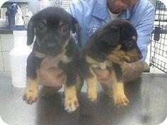 Rockaway, NJ - Chihuahua Mix. Meet Nadine's Miss Hannigan, a puppy for adoption. http://www.adoptapet.com/pet/11976478-rockaway-new-jersey-chihuahua-mix