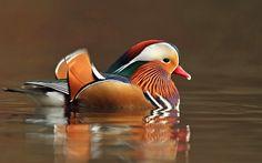 Duck Wallpaper, Tier Wallpaper, Animal Wallpaper, Canard Mandarin, Mandarin Duck, Aix Galericulata, Beautiful Birds, Watercolor, December 25