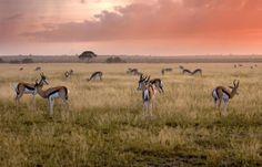 Gazelles et antilopes au Botswana sous un ciel rose