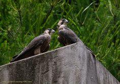 ハヤブサ 巣立ったばかりの幼鳥 Falco peregrinus [Peregrine Falcon] fledgling Kinki Japan, June 2011