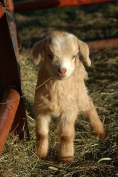 Image about baby in goats/sheep by Alyson Townsend Cute Baby Animals, Farm Animals, Animals And Pets, Funny Animals, Strange Animals, Cute Creatures, Beautiful Creatures, Animals Beautiful, Cute Goats