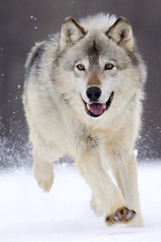 I will forever believe that wolves are the most intelligent animal.