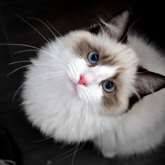 Seal Point Bicolor Ragdoll Male, 4 months old.