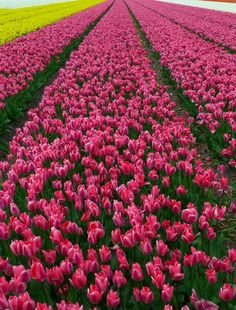 Methinks I need many, many more tulip bulbs for this effect.