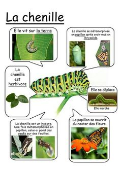 Printable page about la chenille Primary Science, Teaching Science, Science For Kids, Science And Nature, Teaching Kids, Teaching French, French Classroom, French Resources, Special Education
