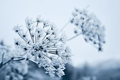 A kiss from the Ice Fairy and Queen Anne has frozen. A blue dream in the winter land. Bloom and beauty for eternity.