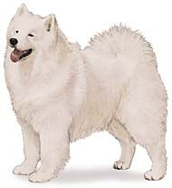 Samoyed-Ours was named Nikki, miss her so...