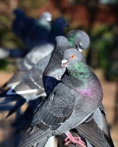 People are horrible to pigeons. They're lovely creatures.