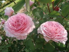 Roses James Galway