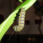 How to set up to watch the stages of the Monarch butterfly from caterpillar to butterfly.