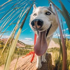 #instagram @gopro Sun's out tongue's out! @melissa_sashahusky spent her weekend hiking with her #HERO4Session in Slatington PA! #GoProLiveIt https://instagram.com/p/55Q9Srrf74/ // my instagram https://instagram.com/wolkanca
