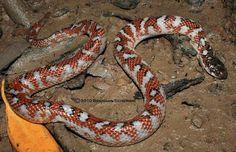 white-bellied mangrove snake (Fordonia leucobalia)