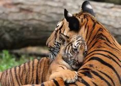 wild animal moms babies - Yahoo! Image Search Results