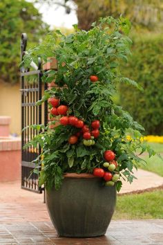 Here are some tomato varieties that could be happy additions to your container garden.
