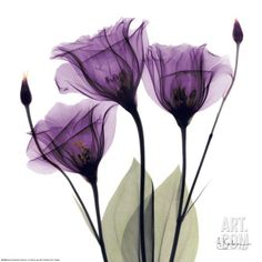 Royal Purple Gentian Trio, by Albert Koetsier