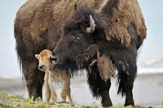 Bison Momma with her precious calf. ♥