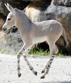 Zebra-horse foal~