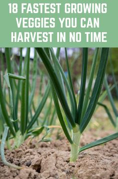 18 Of The Fastest Growing Veggies You Can Harvest In No Time Plant these today and you could be harvesting them just weeks from now! Growing Veggies, Growing Plants, Organic Gardening, Gardening Tips, Beginners Gardening, Gardening Quotes, Flower Gardening, Home Vegetable Garden, Small Vegetable Gardens