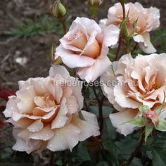 Climbing Julia's Rose :- Climbing sport of the very popular floribunda. Flowers are a highly distinctive coffee colour.