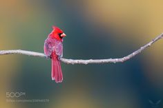 Northern Cardinal by info2595 via http://ift.tt/2pad2z1