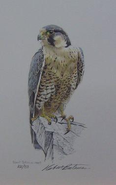 Peregrine Falcon, 1988, by Robert Bateman (Canadian, b. 1930).