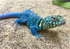 https://www.google.com/search?q=collared lizard