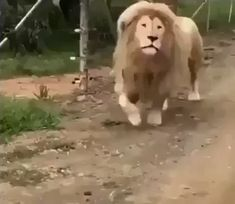 Diffrent kind of lion. Not for faint hearted