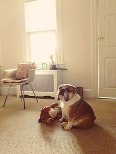 bulldogs are my fave. looks like my baby rufus<3