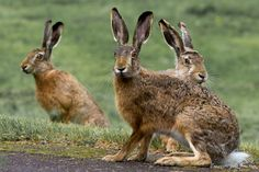 Three Rabbits - Three rabbits and one picture. Picture is taken a fraction of a second before they realized that I was there.