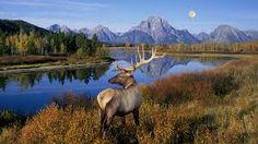 Bull Elk Standing On Banks Of Snake River, Grand Teton National Park, Wyoming All Nature, Amazing Nature, Grand Teton National Park, National Parks, Beautiful Creatures, Animals Beautiful, Nature Landscape, Mundo Animal, Jolie Photo