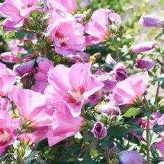 Die 22 Besten Bilder Zu Hibiskus Hibiskus Wolle Kaufen Pflanzen