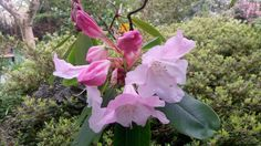 This is the most Heavenly scented #rhododendron @kilmokeacountrymanor