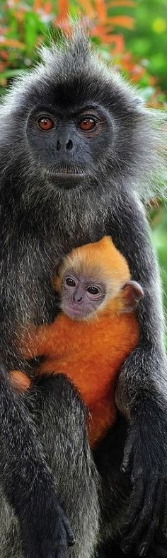 Langur Monkey with baby. - from Amazing World
