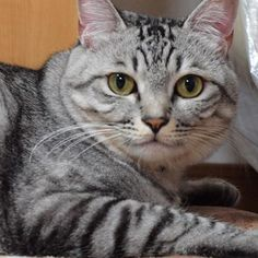 😳 #cat#catsofinstagram  #NEKOくらぶ #アメリカンショートヘア  #杏グラム #杏ちゃん #一眼レフ #カメラ女子  #ねこ#ねこ部 #猫#ネコ #愛猫 #アメリカンショートヘア #日本#japan #ilovecat