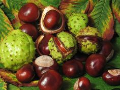 Horse Chestnut for Hemorrhoids. Horse chestnut strengthens the vessel walls, builds elasticity, increases circulation and is an anti-inflammatory. Learn more about horse chestnut and why it is good for hemorrhoids. Varicose Vein Remedy, Varicose Veins, Natural Home Remedies, Herbal Remedies, Health Remedies, Diabetes Remedies, Home Remedies For Spiders, American Chestnut, Conkers