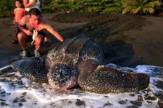 Puerto Viejo de Limon, Costa Rica, 22. April 2012:  In einem Tierschutzpark an Karibikküste Costa Ricas hilft ein Freiwilliger einer Lederschildkröte, der größten lebenden Schildkrötenart, auf ihrem Weg zurück ins Meer. Das Jaguar Rescue Center wurde im Jahre 2005 gegründet, um misshandelten oder verletzten wilden Tieren zu helfen.
