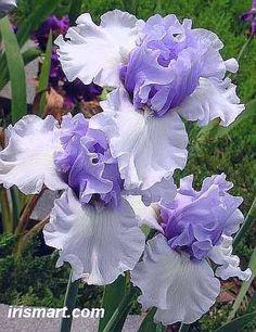 vestido de noche del baile de Altura iris barbudos tubérculo rizomas Raíces flores