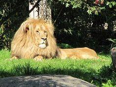 Lion, Miehet, Leipzigin Eläintarha