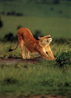 Lion stretch