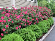 Boxed edging and roses in front of formal lounge but in white