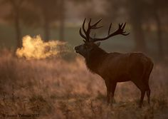 """What a beautiful picture of an Elk. 500px / Photo """"Deer Stag """"breathing fire"""""""" by Austin Thomas"""